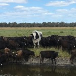 От самого большого быка в Австралии отказались мясокомбинаты. Он будет жить